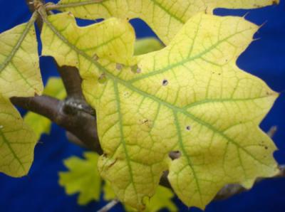 pin oak iron chlorosis