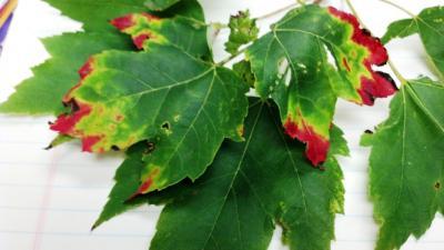 potato leafhopper damage on red maple