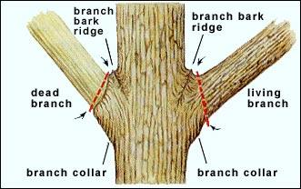 placement of pruning cuts