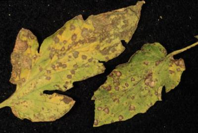 Septoria Leaf Blight on Tomato