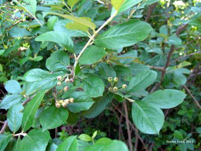 Red Chokeberry (Aronia arbutifolia)