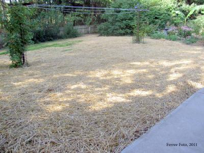 2011 Fall lawn seed covered in straw mulch