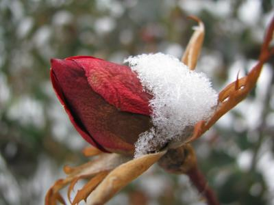 Rosebud in Dec