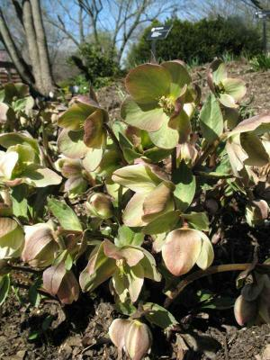 Helleborus  Walhelivor  MO Botanic photo from website