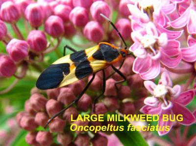 Milkweed Bug Pic
