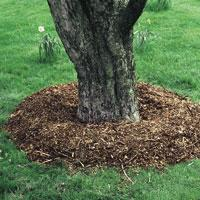 Mulching established tree