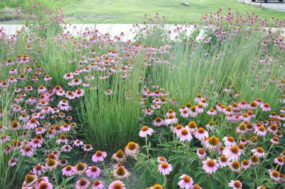 Eliana Brown Photo Credit  Native prairie plants provide both beauty and functionality to rain gardens