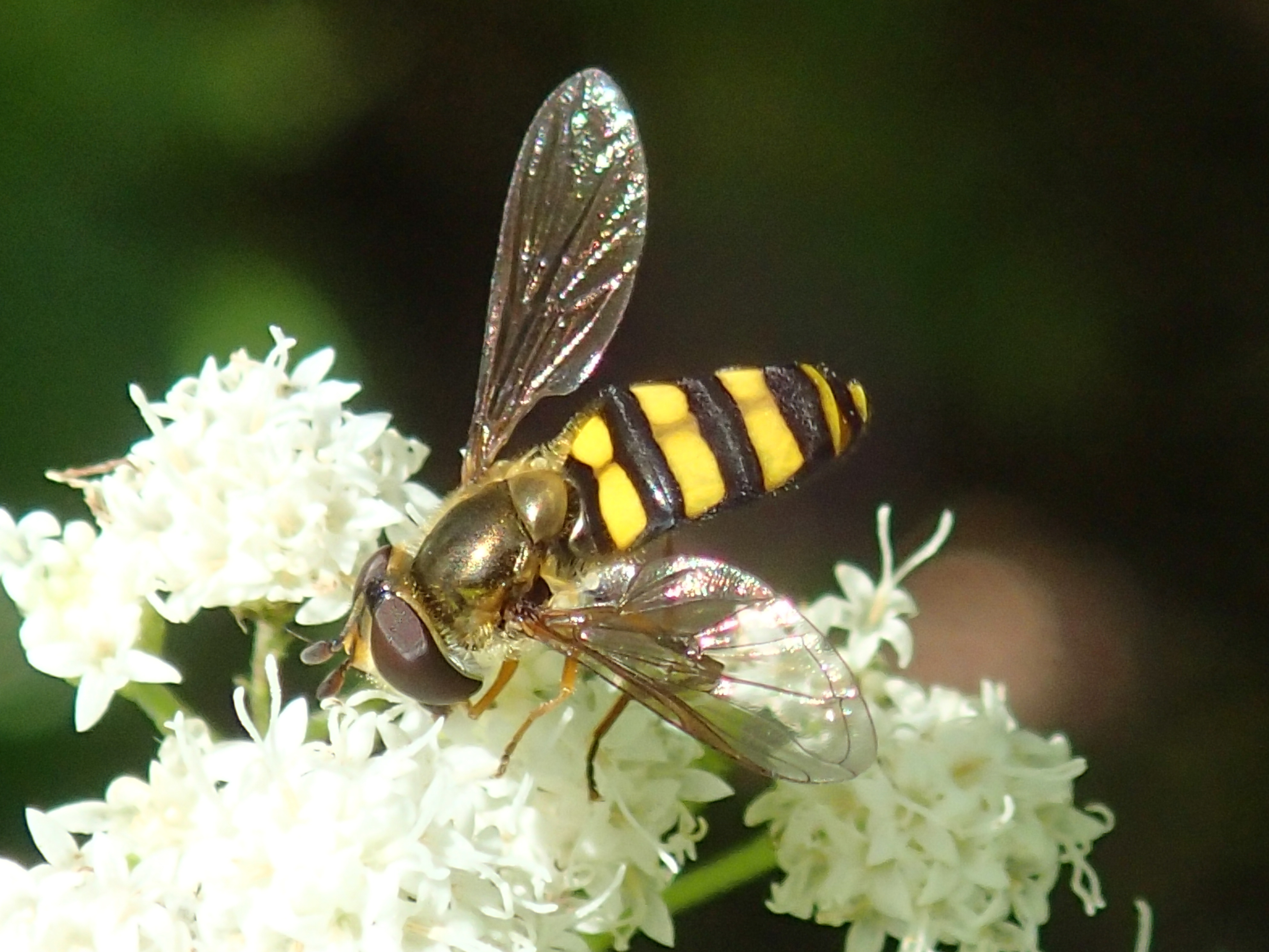 https://extension.illinois.edu/photolib/lib1371/syrphid%5Ffly%5Fsnakeroot3.jpg