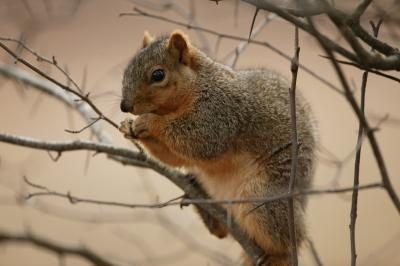 Tree Squirrels photo