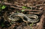 Eastern garter (<i>Thamnophis sirtalis</i>) snakes are common in grassy areas such as parks and lawns. They should be left alone, as they are important predators of insects and other pests. Photo by Adele Hodde, Illinois Department of Natural Resources.