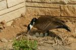 Canada geese (<i>Branta canadensis</i>) are not shy about building nests in urban environments. This female built her nest next to a building foundation. Photo courtesy of Adele Hodde, Illinois Department of Natural Resources.