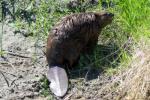 """Beaver (Castor canadensis)                 <p><a href=""""directory_show.cfm?species=beaver"""">Continue to Wildlife Directory</a></p>"""