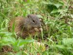 Franklin's ground squirrel (<i>Spermophilus franklinii</i>)