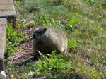 Woodchuck (<i>Marmota monax</i>) chewing a leaf.  Photo courtesy of Liza Watson.