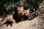Red fox (<i>Vulpes vulpes</i>) kits.