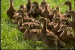 "Mallard ducklings have similar plumage to Mallard hens.  Photo courtesy of Adele Hodde, Illinois Department of Natural Resources.                 <p><a href=""directory_show.cfm?species=mallard"">Continue to Wildlife Directory</a></p>"