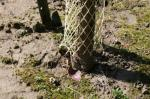 Voles and rabbits will be able to gain access to the tree if the fencing is not flush with the ground.