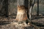 "Damage caused by beaver (<i>Castor canadensis</i>).  Photo courtesy of Laura Kammin, University of Illinois Extension.                 <p><a href=""directory_show.cfm?species=beaver"">Continue to Wildlife Directory</a></p>"