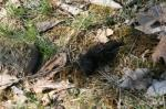 "Raccoon (<i>Procyon lotor</i>) scat.   Photo courtesy of Laura Kammin, University of Illinois Extension.                 <p><a href=""directory_show.cfm?species=raccoon"">Continue to Wildlife Directory</a></p>"