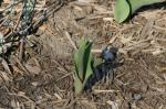 "A tulip damaged by eastern cottontails (<i>Sylvilagus floridanus</i>).                 <p><a href=""directory_show.cfm?species=cottontail"">Continue to Wildlife Directory</a></p>"