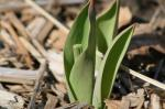 This tulip was damaged by  an eastern cottontail (<i>Sylvilagus floridanus</i>).