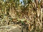 Corn damaged by feral hogs.Deer, beaver, and raccoons can also cause serious damage to corn fields. Photo courtesy of Ron Horwedel.