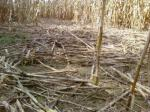 Damage to a corn field caused by feral hogs. Photo courtesy of Ron Horwedel.