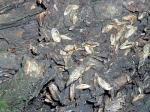 """Weathered raccoon (<i>Procyon lotor</i>) scat. Note the seed husks. Photo courtesy of Willowbrook Wildlife Center.                 <p><a href=""""directory_show.cfm?species=raccoon"""">Continue to Wildlife Directory</a></p>"""
