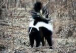 The stiff posture, arched back, and uplifted tail are all signs that the skunk (<i>Mephitis mephitis</i>) is about to spray.  Photo courtesy of the Forest Preserve District of DuPage County.