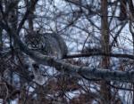 Bobcat (Lynx rufus). Photo courtesy of Mike Jeffords, Illinois Natural History Survey.