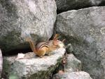 """An eastern chipmunk (<i>Tamias striatus</i>).  Photo courtesy of Joyce Hofmann, Illinois Natural History Survey.                 <p><a href=""""directory_show.cfm?species=groundsquirrel"""">Continue to Wildlife Directory</a></p>"""