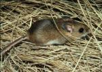 Deer mouse (<i>Peromyscus maniculatus</i>)