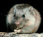 """A prairie vole (<i>Microtus ochrogaster</i>) chewing on a stem.  Photo courtesy of Michael Jeffords, Illinois Natural History Survey.                 <p><a href=""""directory_show.cfm?species=vole"""">Continue to Wildlife Directory</a></p>"""