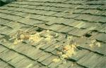 A raccoon (<i>Procyon lotor</i>) damaged these wood shingles to gain access to the attic.  Photo courtesy of the United States Department of Agriculture.