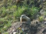 """Woodchuck (<i>Marmota monax</i>) at a burrow entrance.  Photo courtesy of Liza Watson.                 <p><a href=""""directory_show.cfm?species=woodchuck"""">Continue to Wildlife Directory</a></p>"""