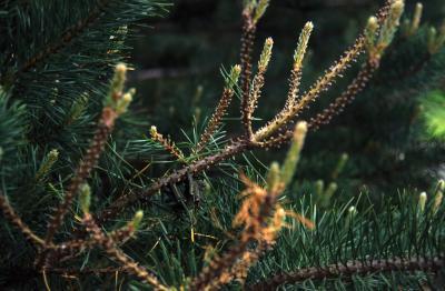 Pine sawfly on Austrian pine