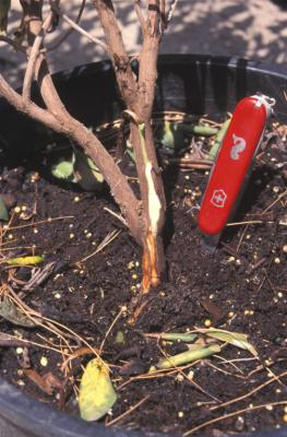 Phytophthora basal rot of Rhododendron.