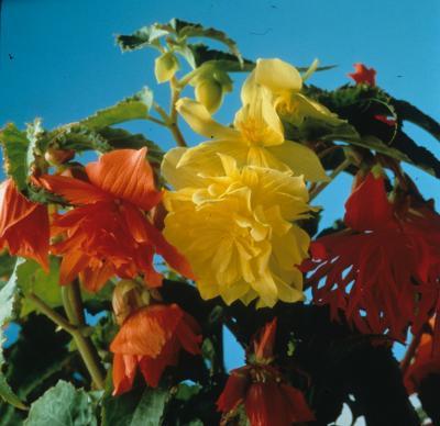 Tuberose Begonia