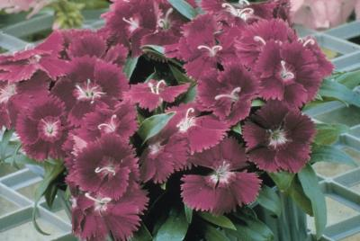 Dianthus 'Ideal Violet'
