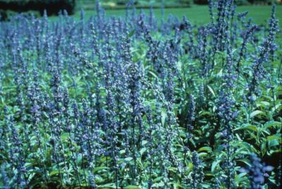 <em>Salvia farinacea</em> 'Victoria Blue'