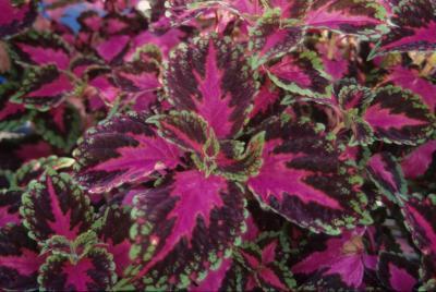 Coleus 'Violet Tricolor'