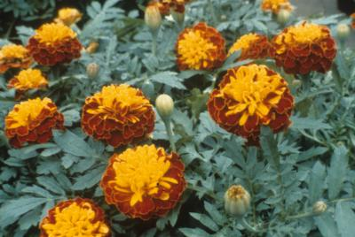 Dwarf Marigold 'Little Devil Bicolor'