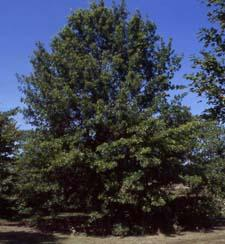 Pin Oak form