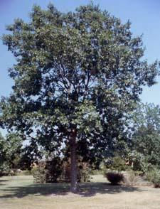 Red Oak form