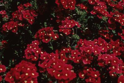 <em>Verbena</em> 'Sangria'