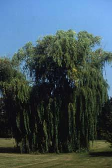 'Tristis', a cultivar of White Willow