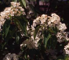 Korean Mountainash flowers