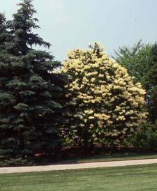 Japanese Tree Lilac in flower