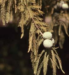 Bald Cypress leaves (needles) and fruit (cones)