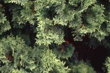 Eastern Arborvitae leaves (needles)